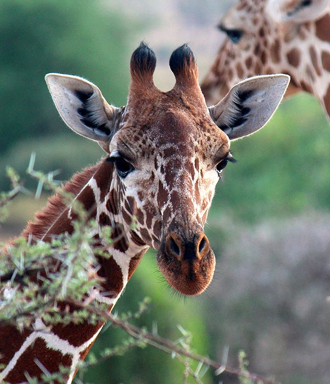 A Young Reticulated Giraffe