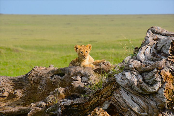 lion cub on stump