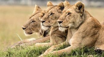 3 lions watching in unison
