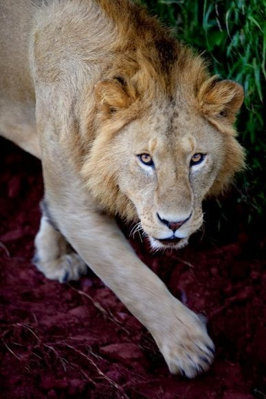 Lion captured at Local Maasai compound