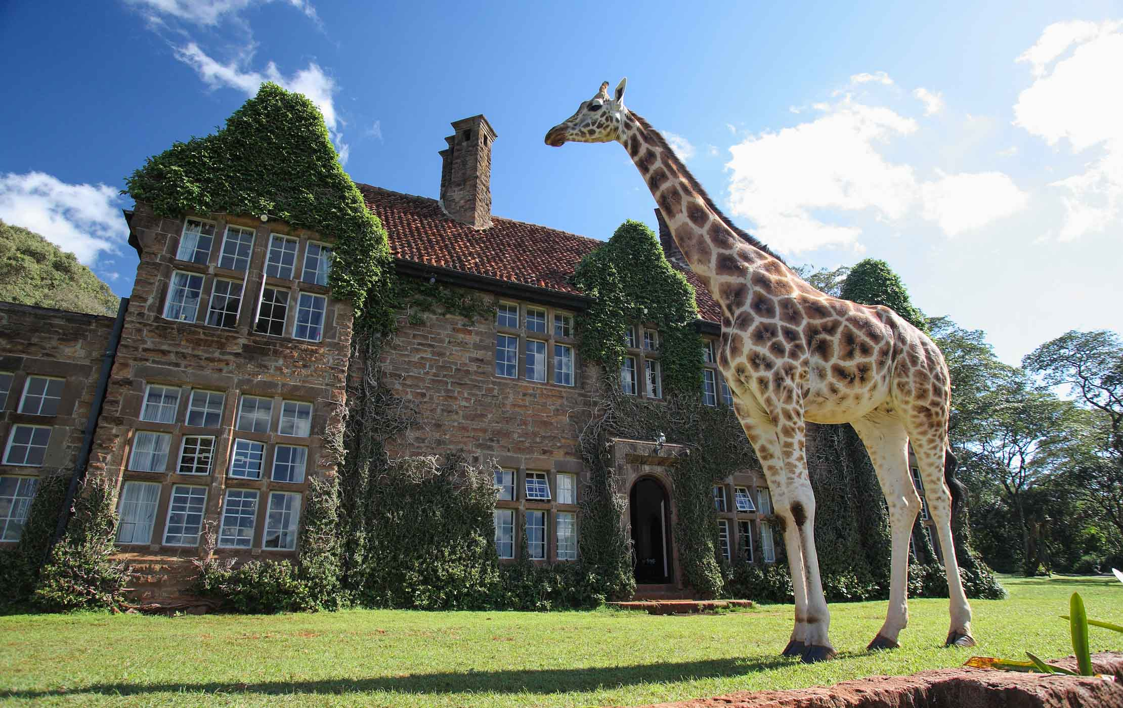 Giraffe sticks his neck out to join family for breakfast at manor house