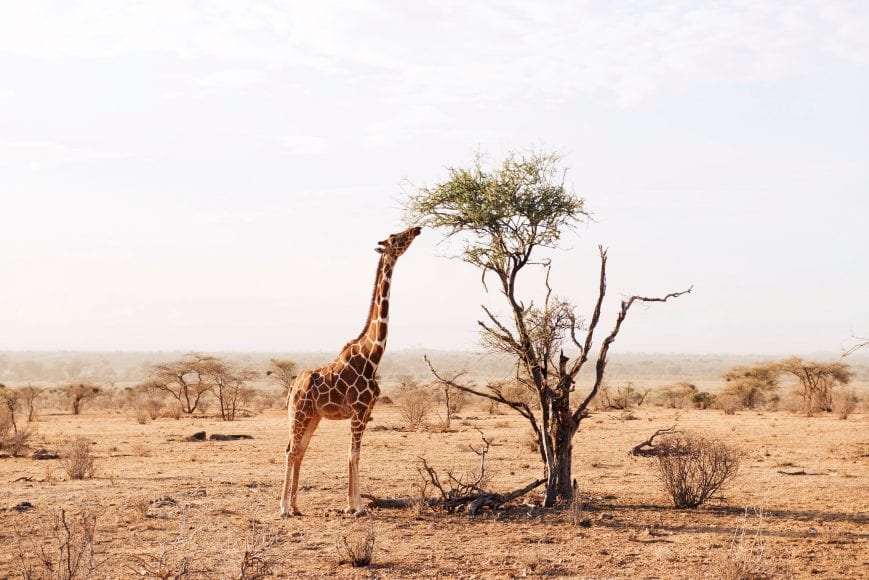 A giraffe eating from a tree