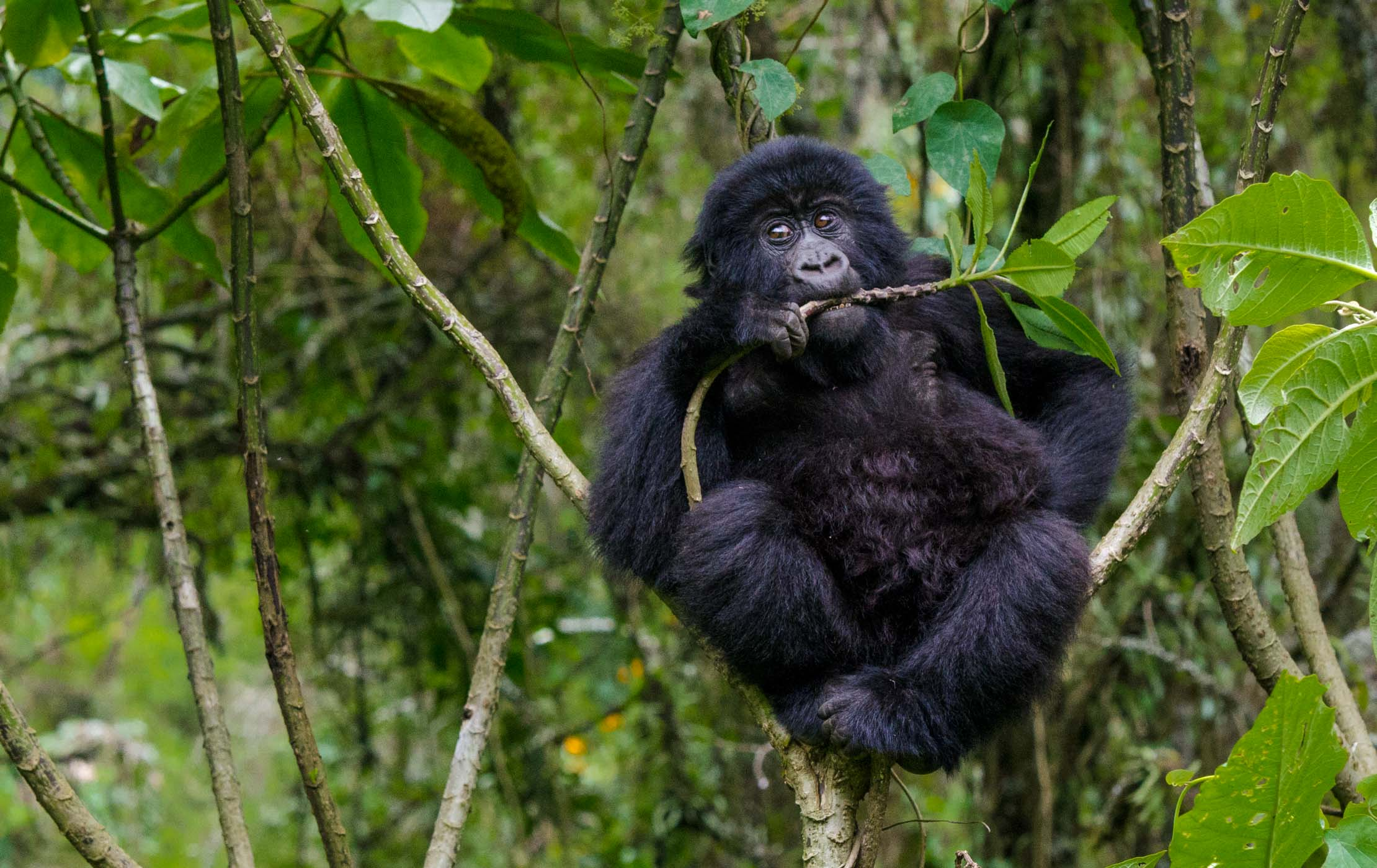 The Mountain Gorillas of Central Africa