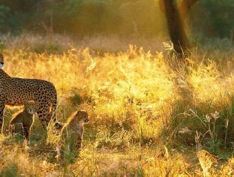 Leopard with kids roaming in African Splendour