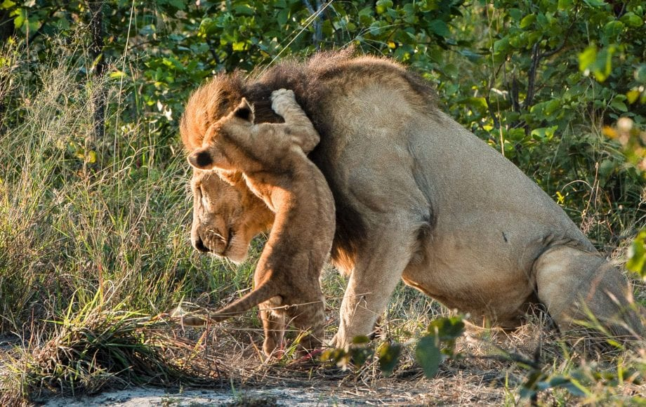 Lion and Lion cubs at Sable Alley - Okavango Delta, Botswana
